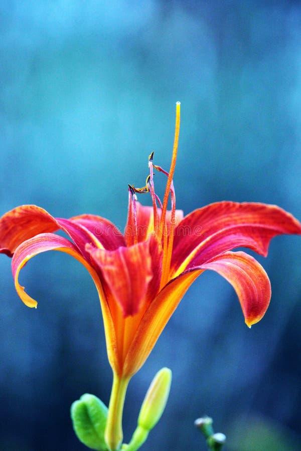 Tiger Lily arancio fotografia stock libera da diritti