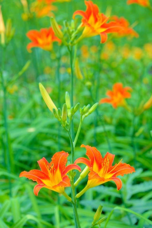 Tiger Lily stockbilder