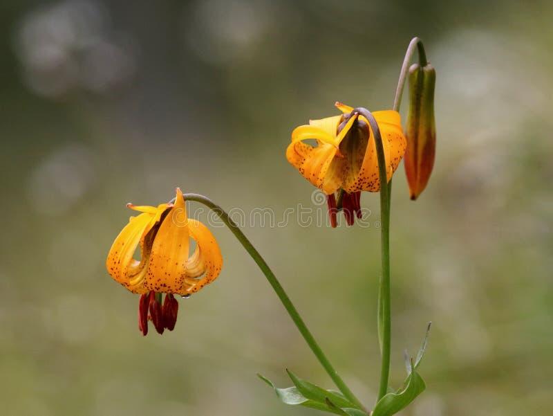 Tiger Lily - columbianum de Lilium image libre de droits
