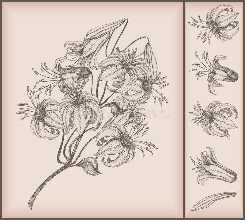Download Tiger lily drawing stock vector. Illustration of vector - 13968865