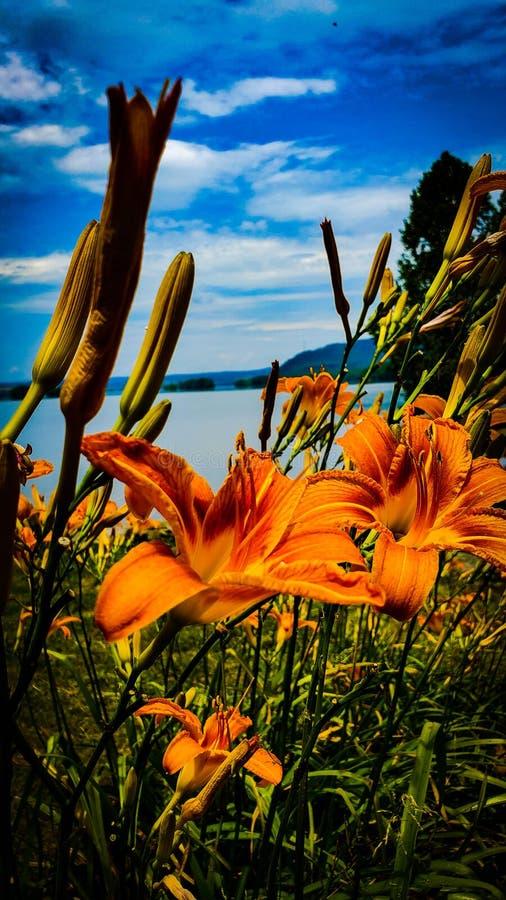 Tiger Lily Facing River fotografia de stock
