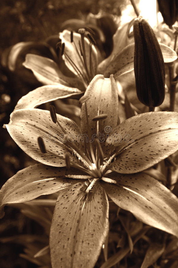 Tiger Lily Flower. Photograph - gorgeous desaturated Antique Style royalty free stock photography