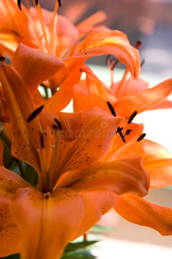 Download Tiger lily flowers stock image. Image of petals, lily - 2791157