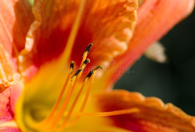 Tiger Lily royaltyfri bild