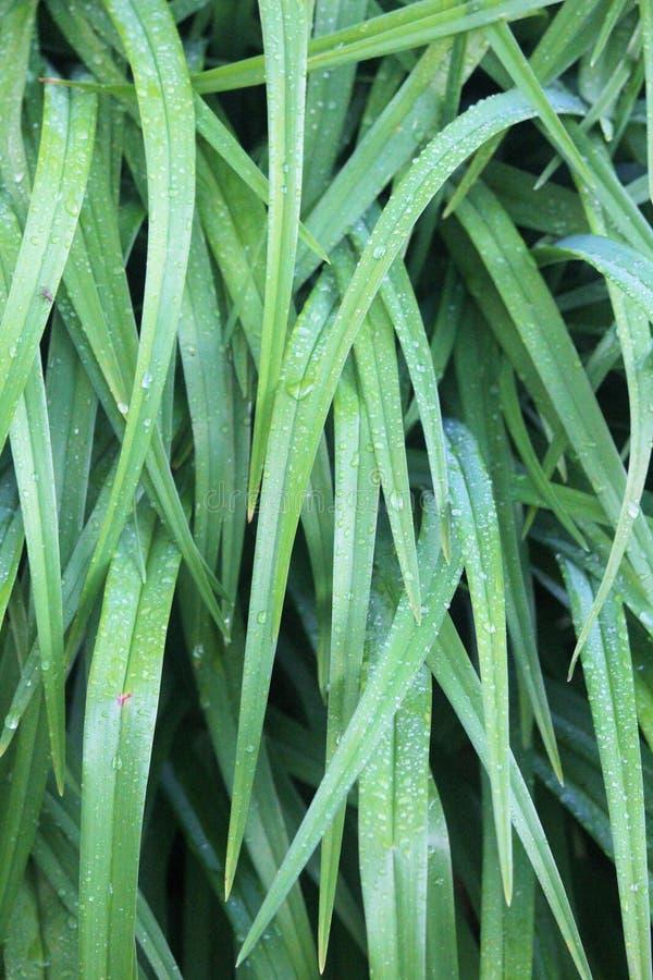 Tiger Lily Leaves Covered en gouttes de pluie un jour d'été photographie stock