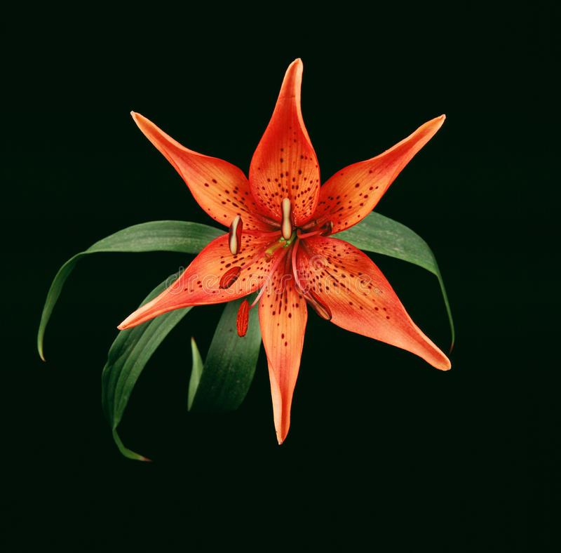 Tiger Lily Lilium-bulbiferum stockfotografie