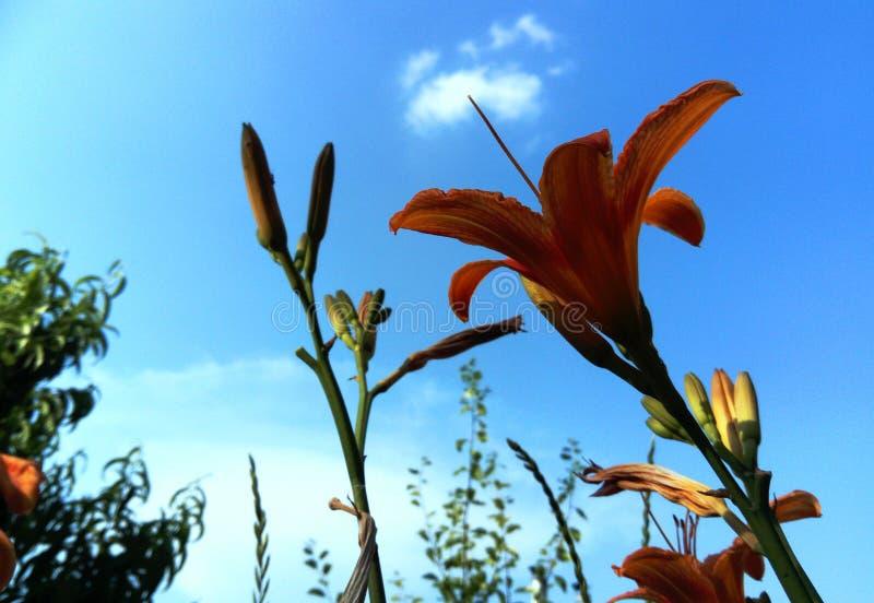 Tiger Lily orange flowers royalty free stock image