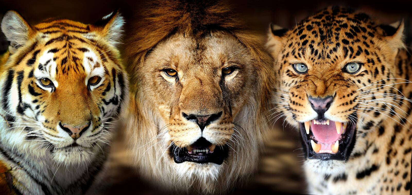 Tiger, lion, leopard royalty free stock images