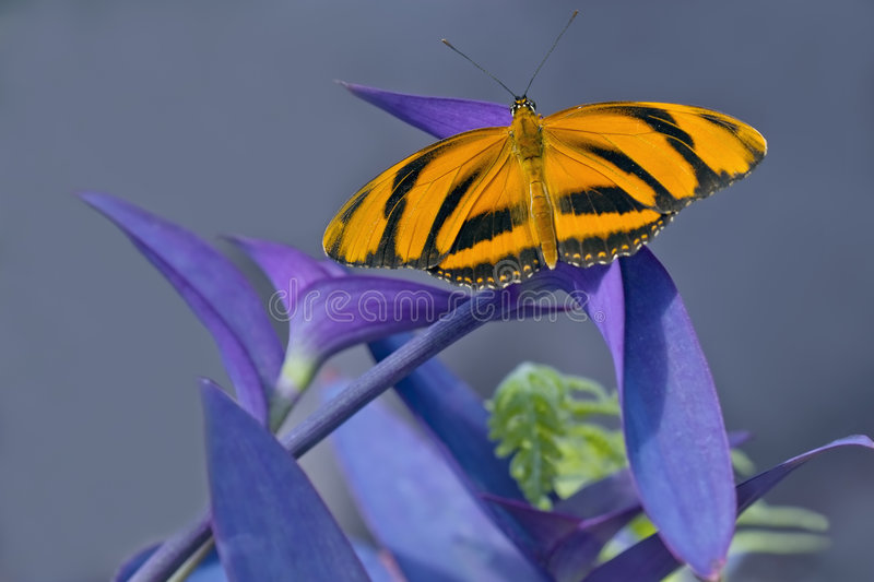Download Tiger Longwing Butterfly Stock Images - Image: 7660604