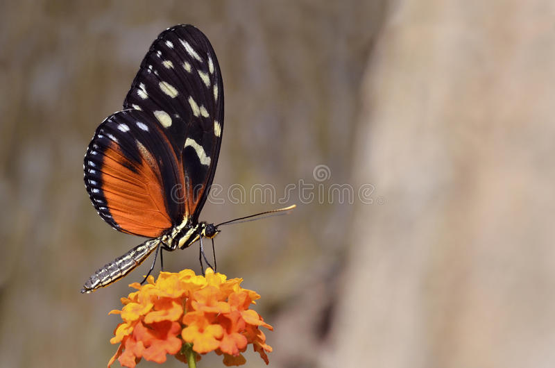 Tiger Longwing butterfly feeding on flower royalty free stock image