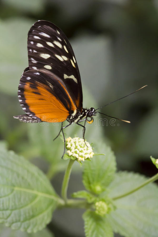Tiger longwing butterfly Heliconius hecale royalty free stock images
