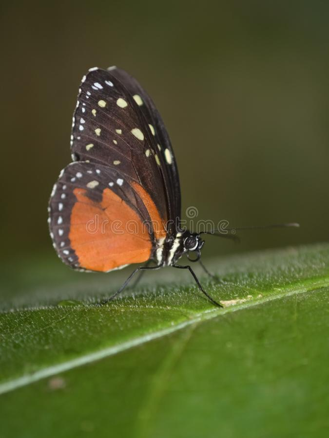 Tiger Longwing Butterfly Heliconius hecale royalty free stock photos