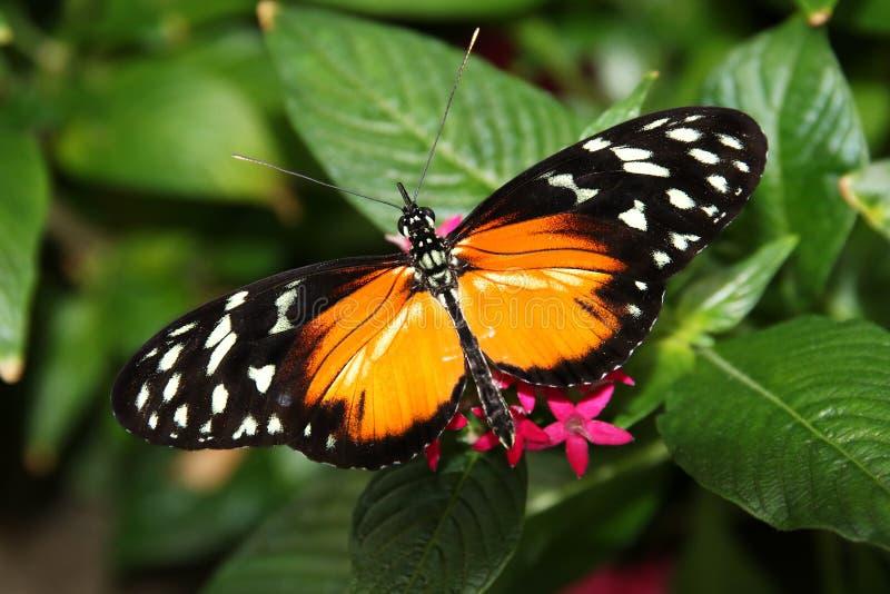 Tiger Longwing Butterfly Heliconius Ismenius que alimenta na flor foto de stock