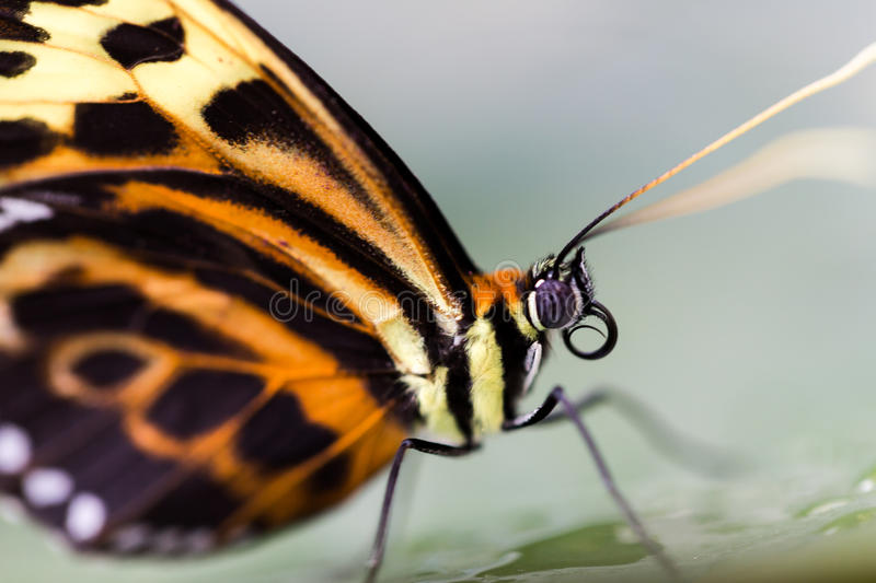 Tiger Longwing Heliconius hecale stands on green leaf. Side profile macro portrait stock images