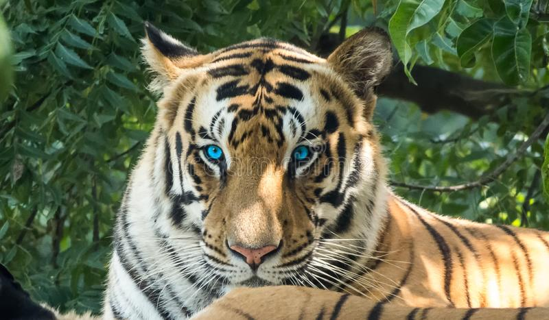 Tiger Looking observé par bleu fâché in camera photographie stock