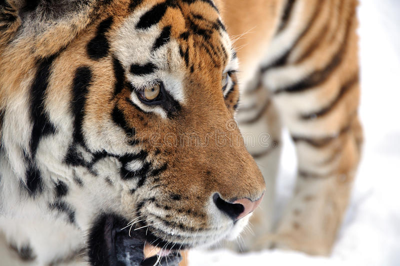 Tiger looking right on snow royalty free stock photography