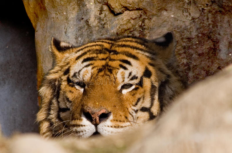 Download Tiger lurking stock photo. Image of carnivorous, aggressive - 24358122