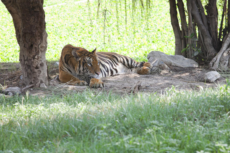 Tiger lying on field royalty free stock images