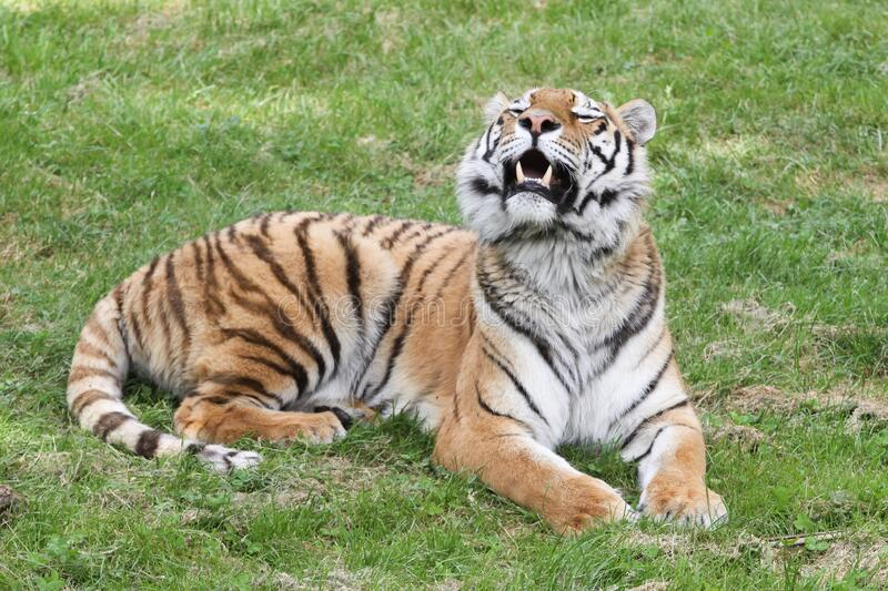 Tiger lying in the grass stock image