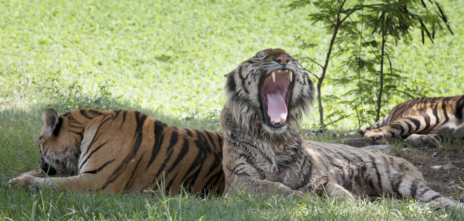 Tiger lying on green grass and open mouth show killed teeth. Group of tiger lying on green grass and open mouth show killed teeth stock photos
