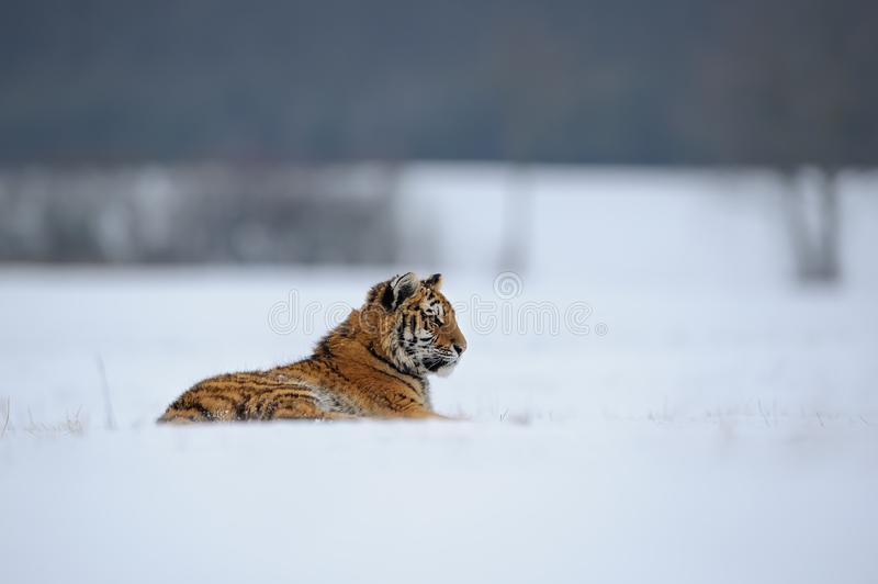 Tiger lying on snowy meadow royalty free stock photos