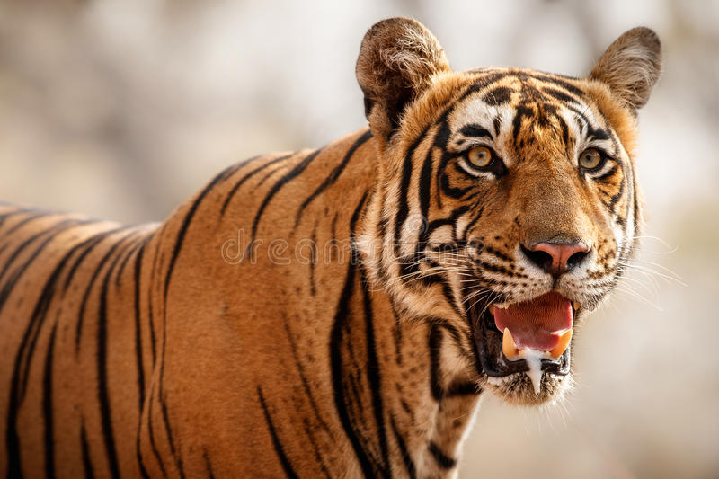 Tiger male in a beautiful light in the nature habitat of Ranthambhore National Park. In India, cute, royal bengal tiger, panthera tigris tigris stock photos