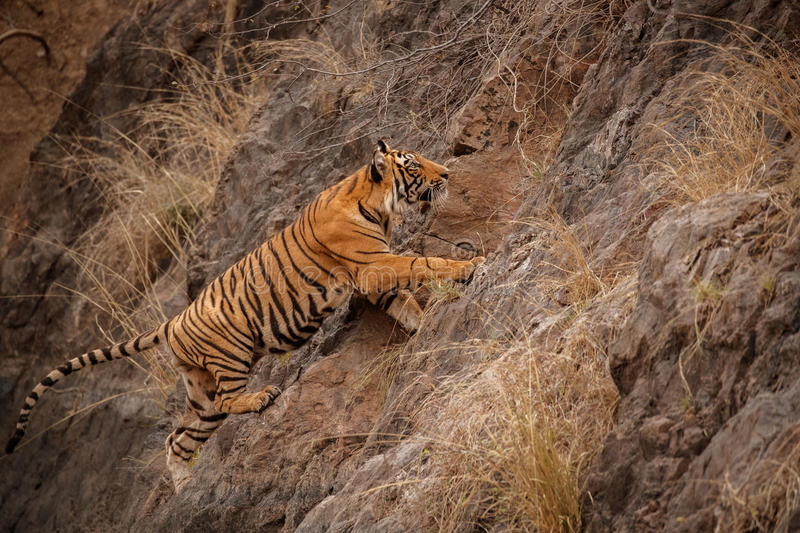 Tiger male cub jumping on the rocky cliff stock photo