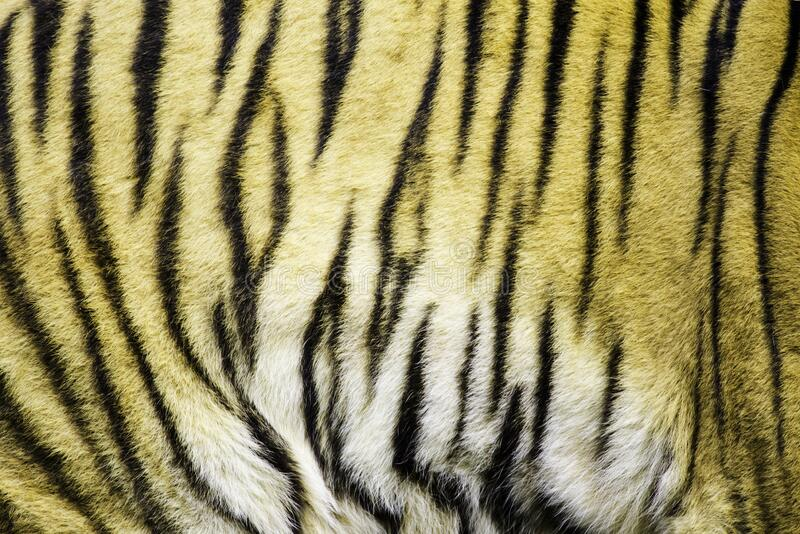 Tiger , A mammal with milk.  royalty free stock image