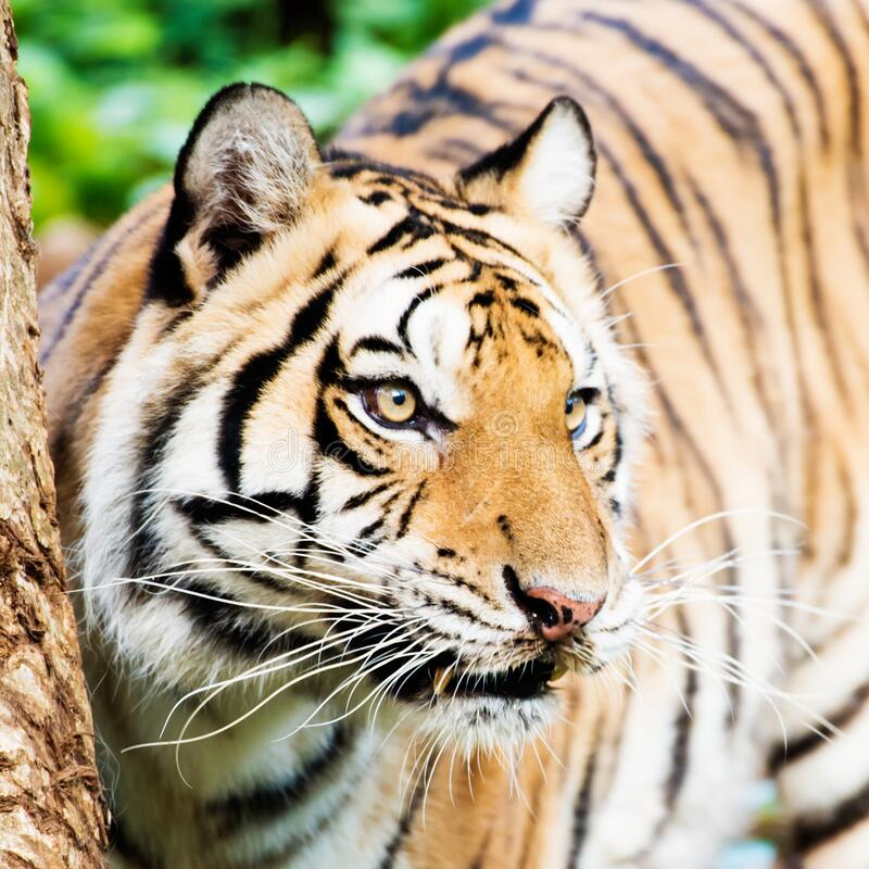 Tiger , A mammal with milk.  royalty free stock photography
