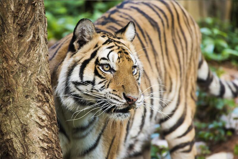 Tiger , A mammal with milk.  royalty free stock photo
