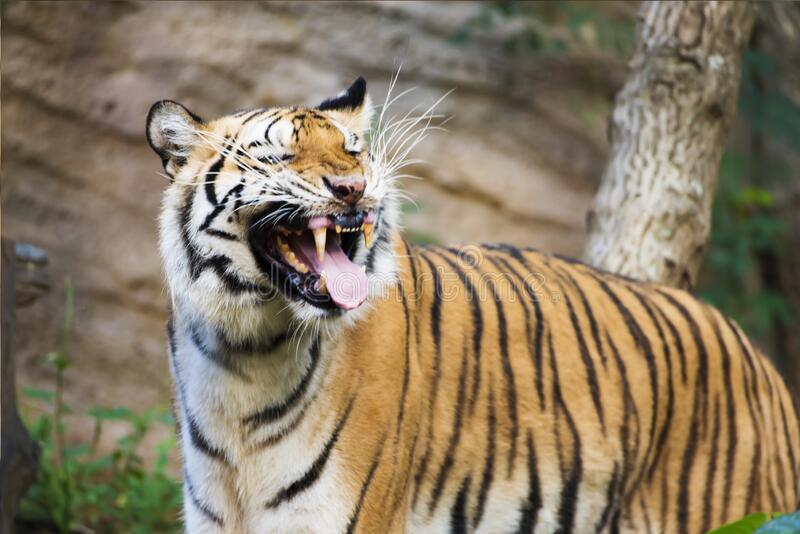 Tiger , A mammal with milk.  stock photography