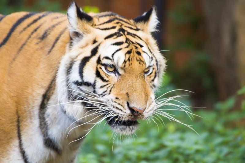 Tiger , A mammal with milk.  stock photos