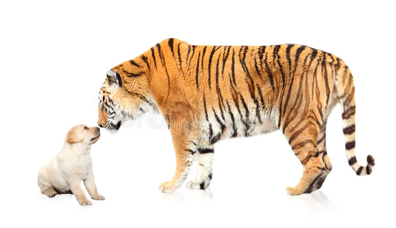 Tiger meeting puppy dog. Bengal tiger meeting a Labrador puppy dog in studio setting for this b2b / business to business / underdog concept