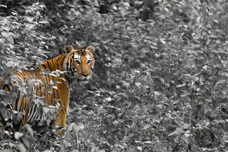 Tiger. Monochrome Portrait stock photo