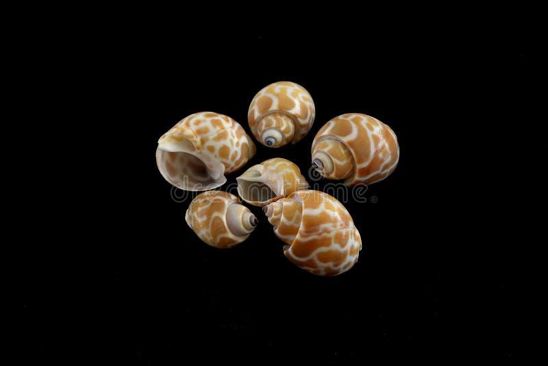 Tiger Moon Sea Shells images stock
