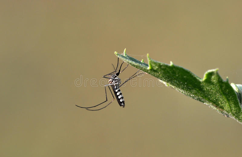 Tiger mosquito. Danger for peoples stock photo