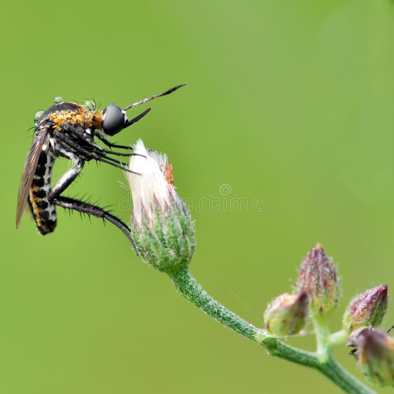 Tiger mosquito bites. Tiger mosquito on the flower, tiger mosquito awaits morning stock image