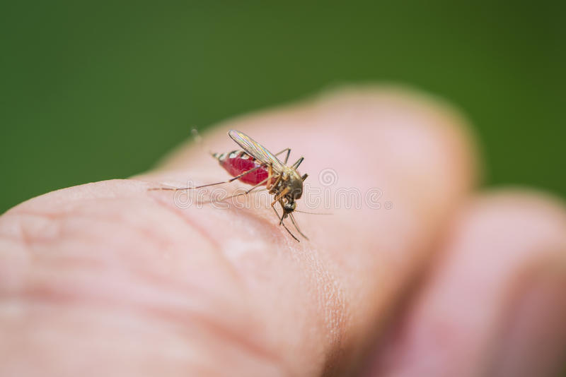 The tiger mosquito drinks blood. From the hand of man stock images