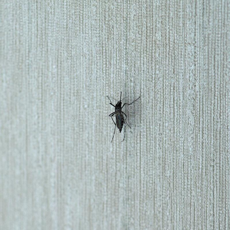 Tiger mosquito insect animal. Tiger mosquito (midge fly of family Culicidae) insect animal on a wall indoor stock photo