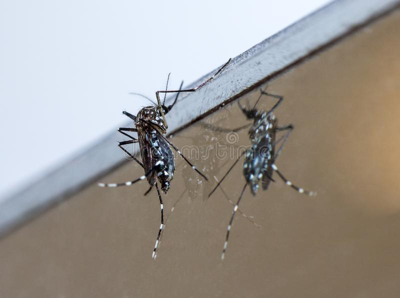 Tiger mosquito sitting on a mirror, close up. stock images