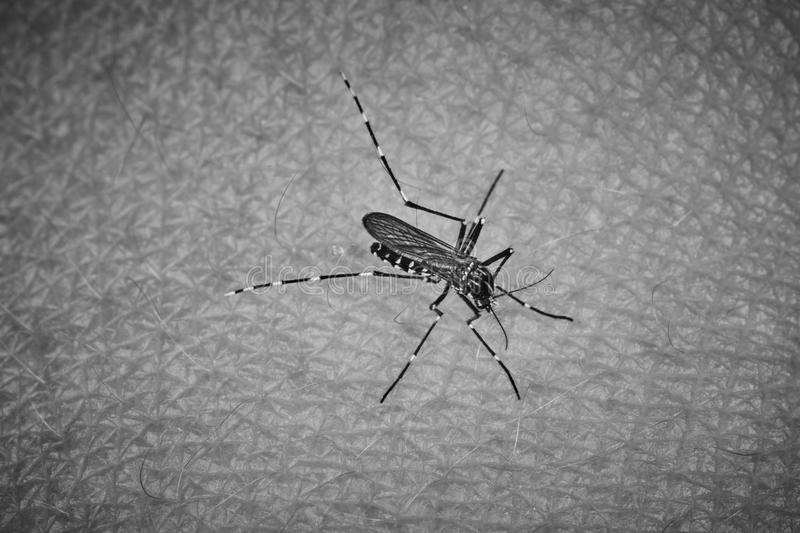 Tiger mosquito. Sucking blood on human skin stock images