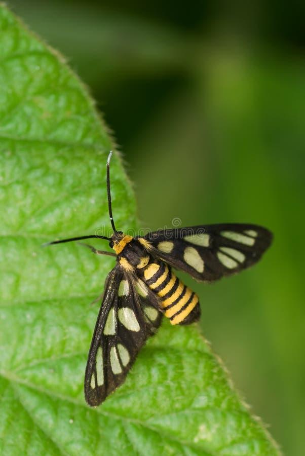 Download Tiger Moth Macro stock photo. Image of wing, black, orange - 4528448