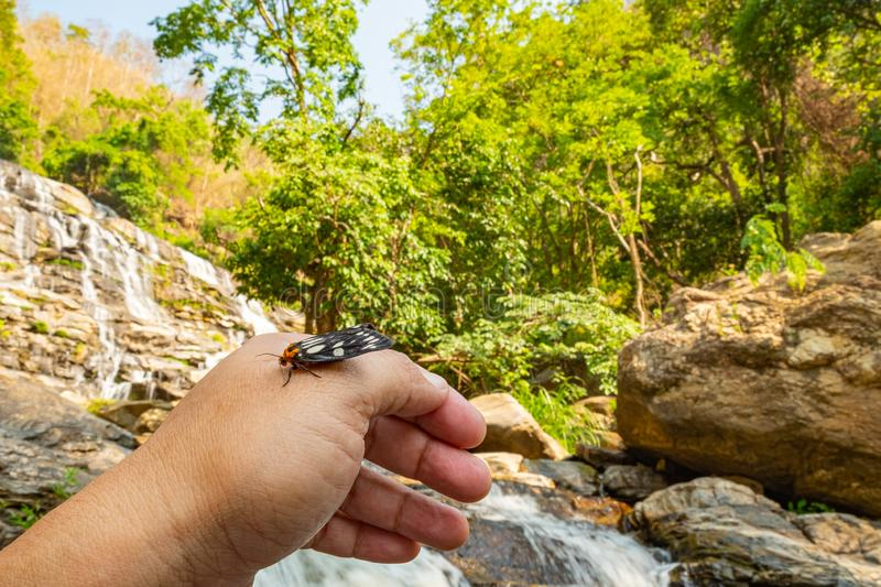 Tiger moth on man`s hand nearby waterfall. It is a moth of the family Erebidae, binomal name is Macrobrochis gigas, adult, animal, arctiidae, arthropod, asia stock images