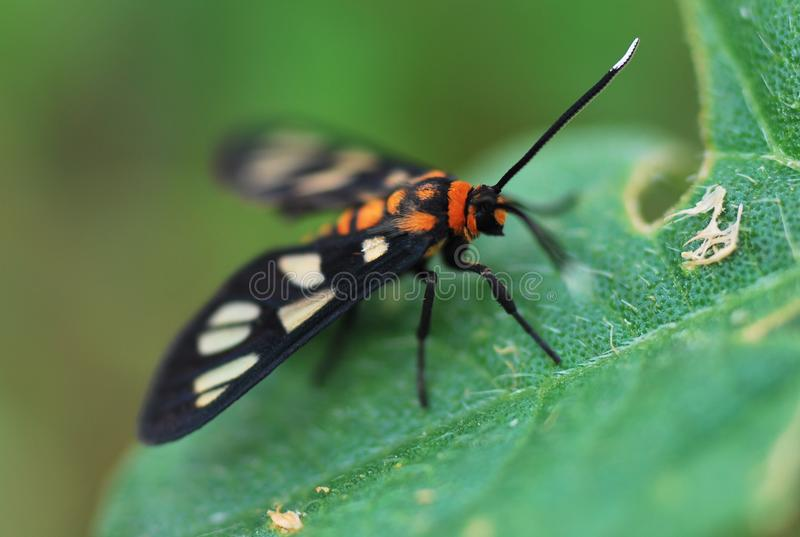 Tiger Moth royalty free stock photography