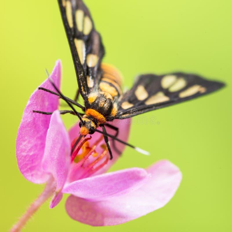 Tiger Moth Pollination royaltyfri bild