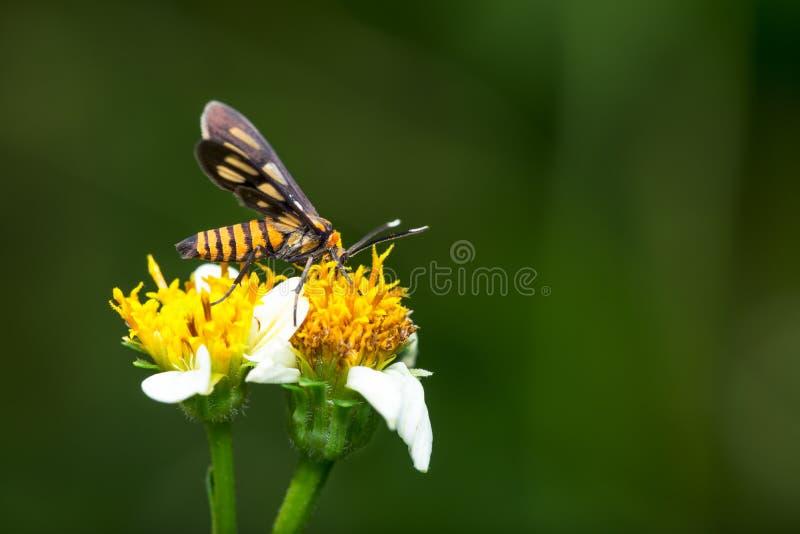 Tiger Moth Pollination fotografia stock