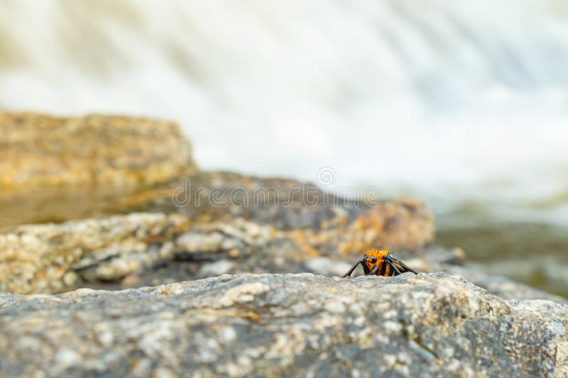 Tiger moth stick on the rock nearby waterfall royalty free stock images