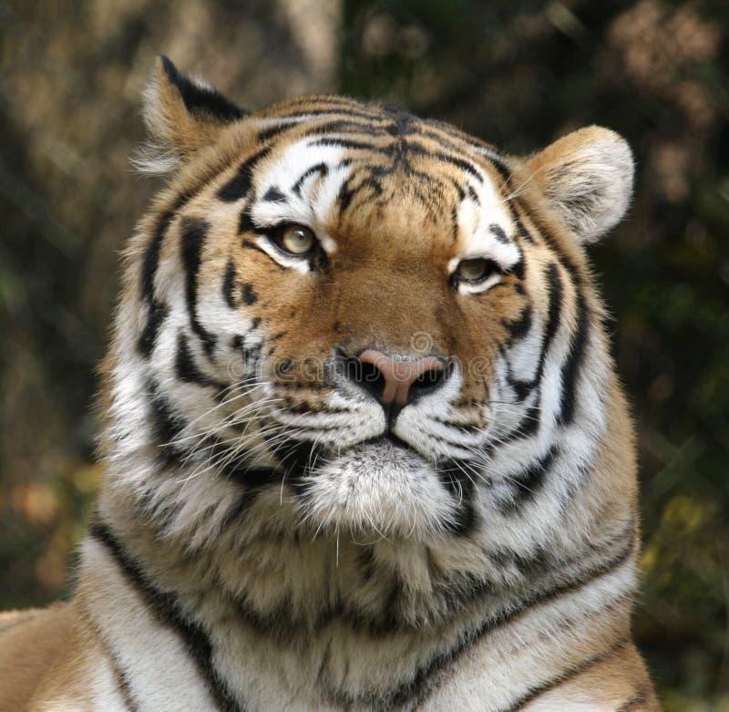 Tiger-nahes hohes lizenzfreie stockfotografie