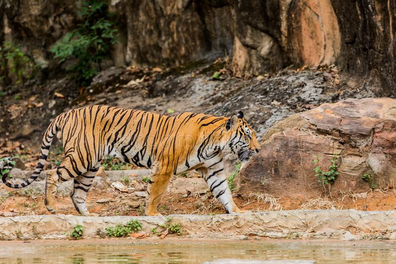 Tiger in the nature habitat. Tigers walking stock images