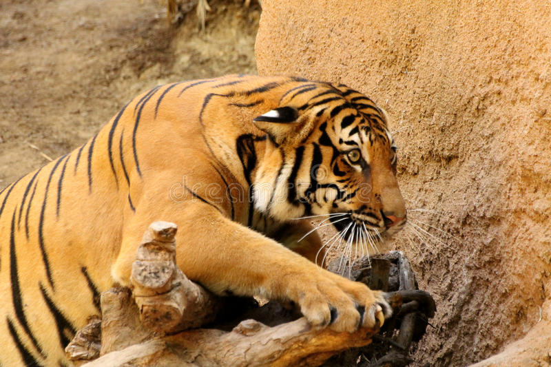 Tiger. One of the beautiful tigers at San Diego zoo stock photo